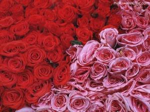 flower-expert-red-and-pink-roses