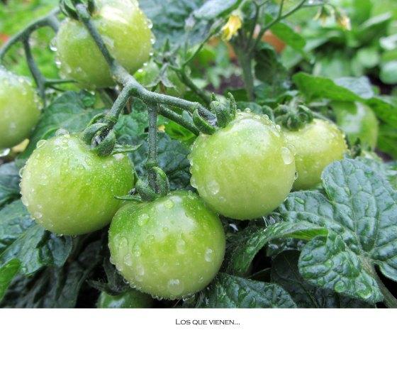 tomatesverdes