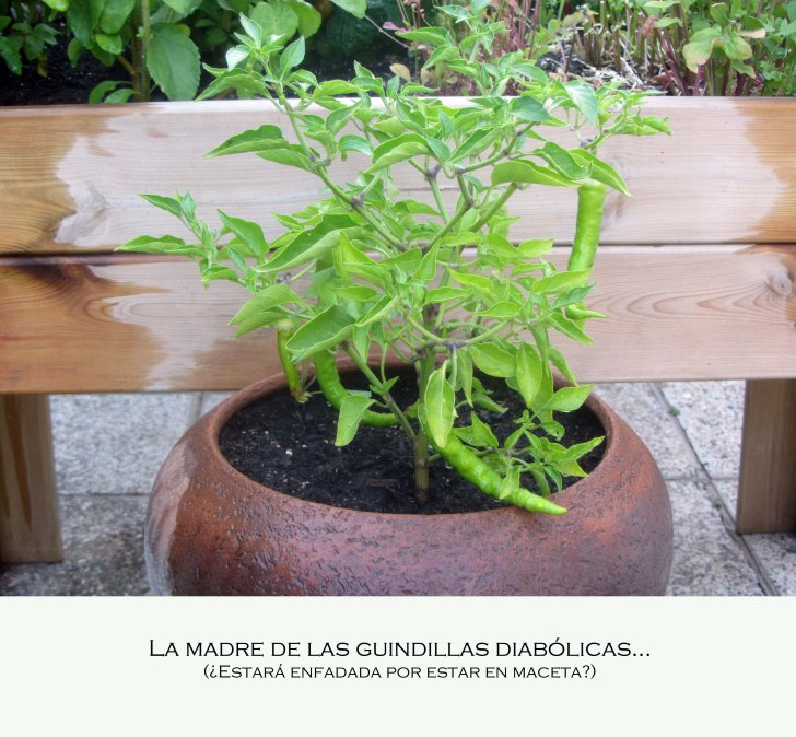 guindilla6