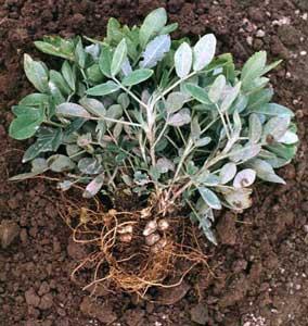 arachis-hypogaea-cacahuete