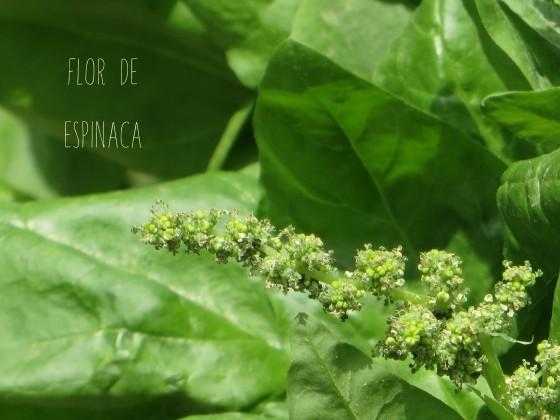 florespinaca