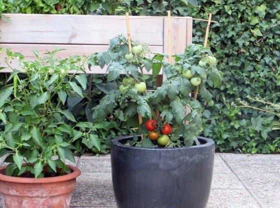 tomate00