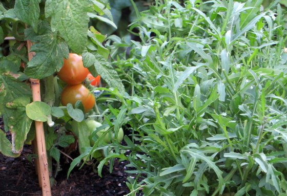 tomate01