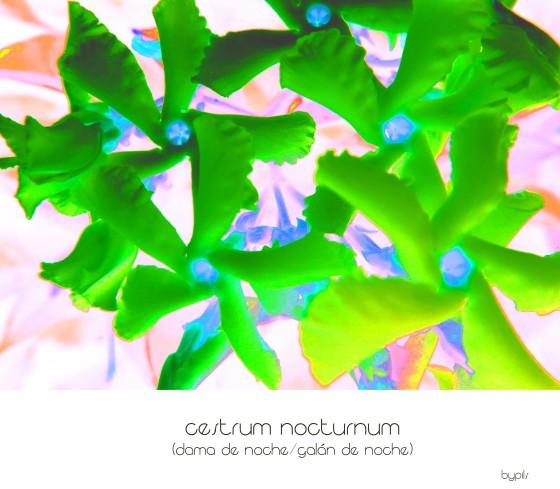 cestrumnocturnum