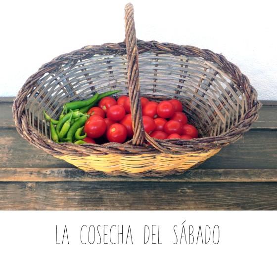 tomates cosecha