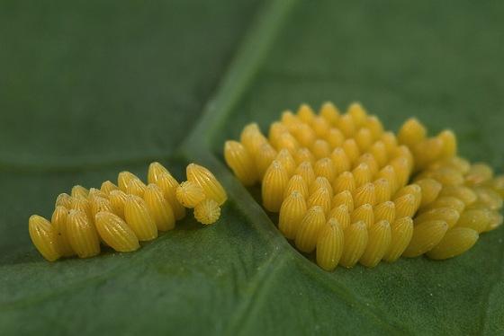 Pieris brassicae huevos en berza