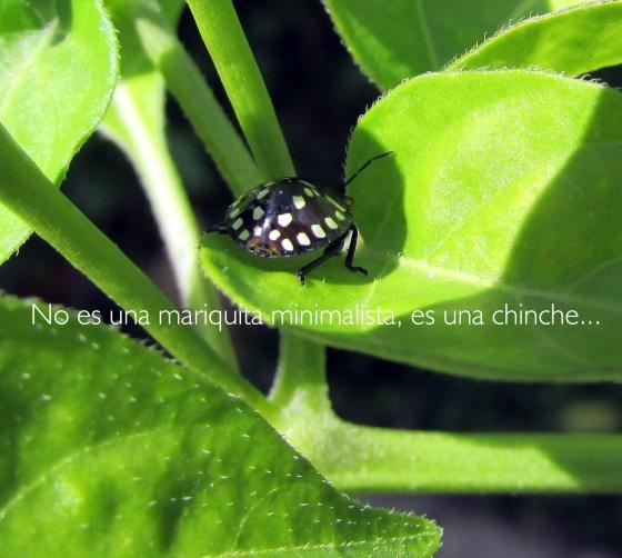 chinche1
