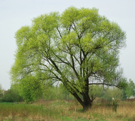 Salix_fragilis