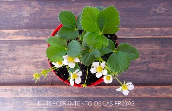fresas3